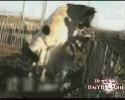 Den friske ko